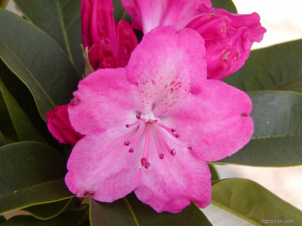 Azalia wielkokwiatowa - Rhododendron Germania