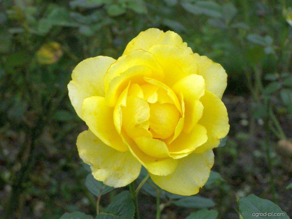 Róża - Rosa Mountbatten