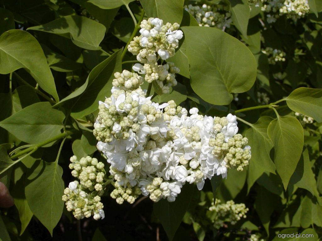 Lilak pospolity - Syringa vulgaris Madame Lemoine