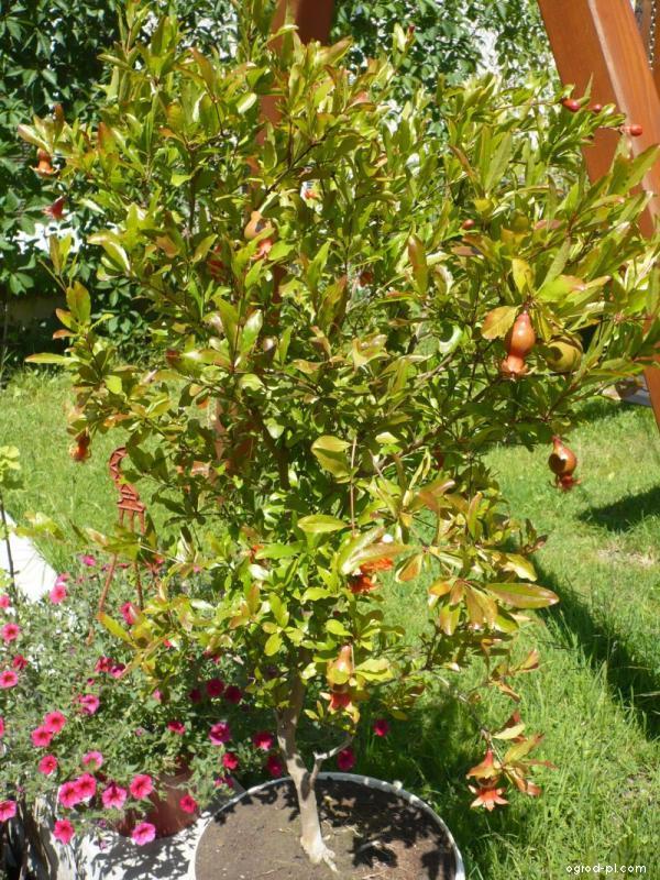 Granátovník obecný, marhaník granátový (Punica granatum)