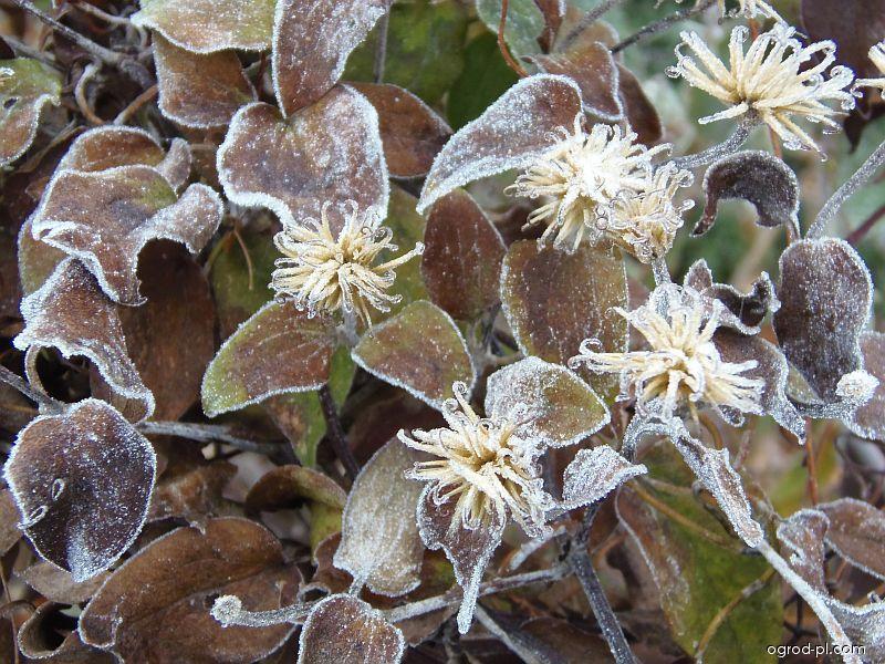 Plamének - jinovatka na květech a listech (Clematis)