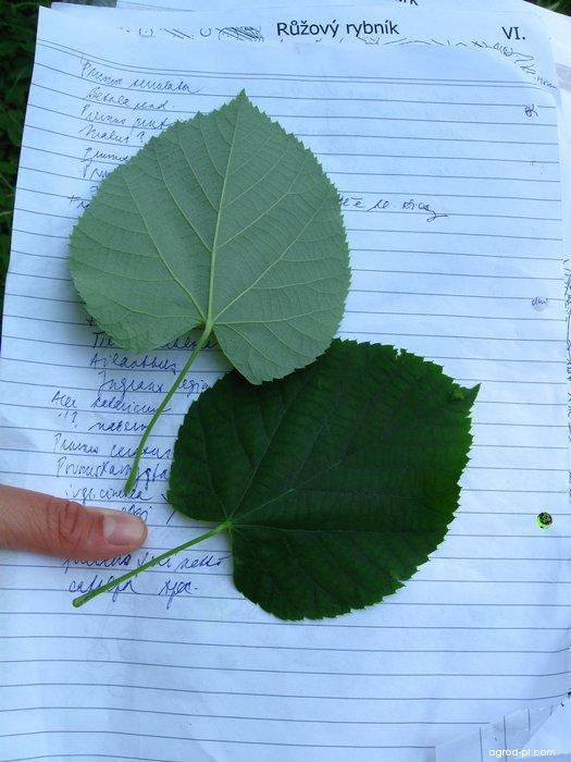 Lípa řapíkatá - listy (Tilia petiolaris)