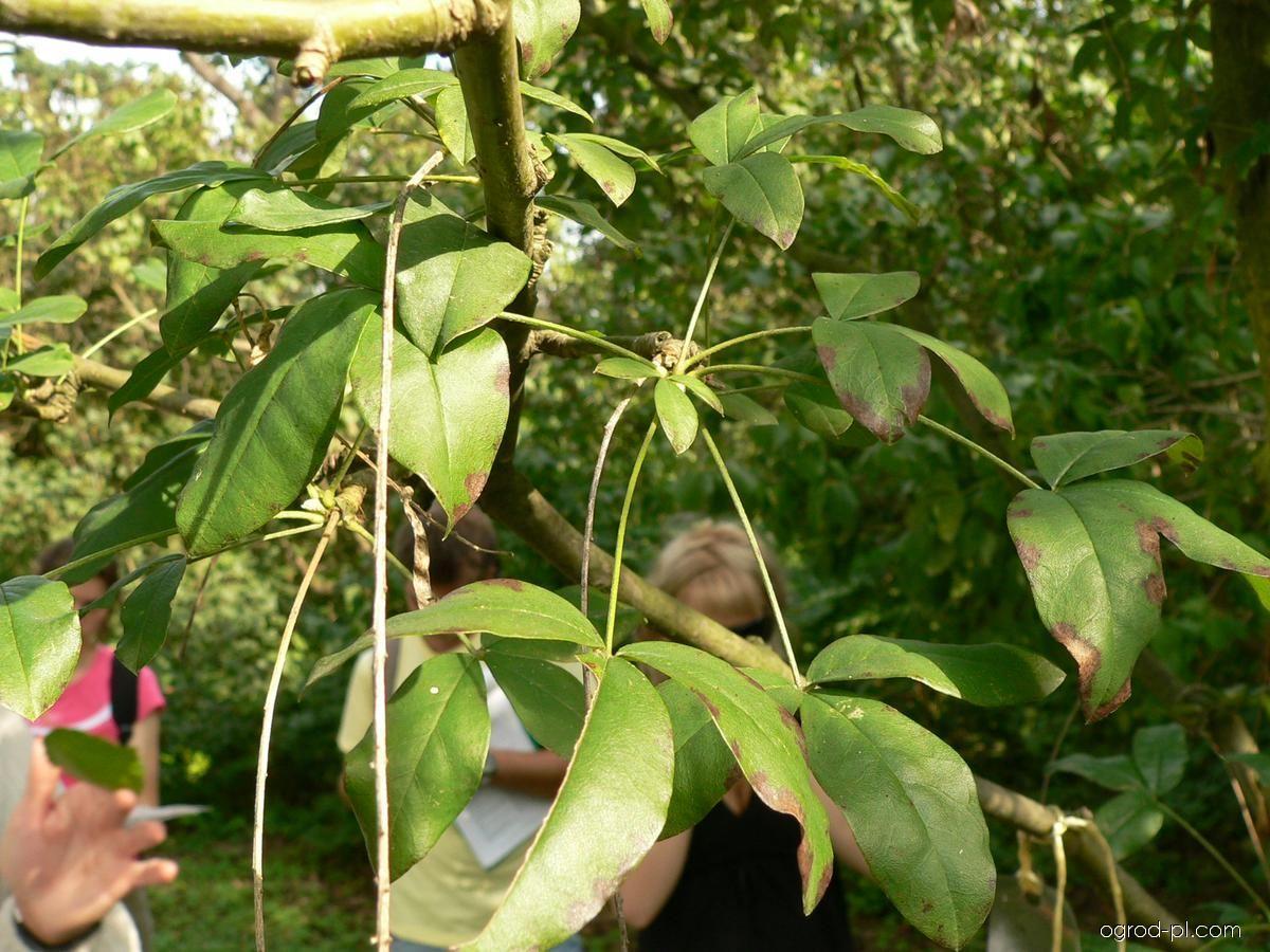 Štědřenec Watererův - listy (Laburnum x watereri)