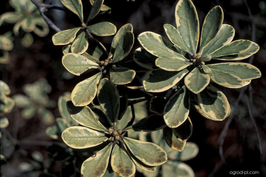 Karo (Pittosporum crassifolium)