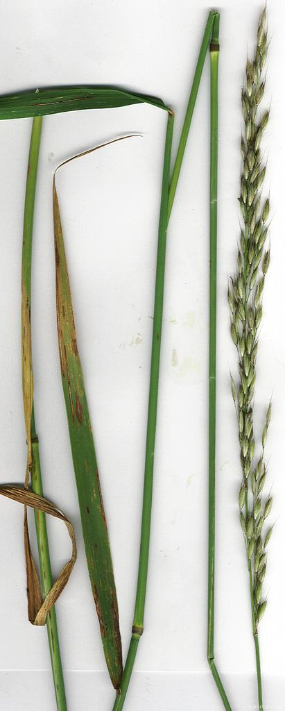 False Oat (Grass - Arrhenatherum elatius)