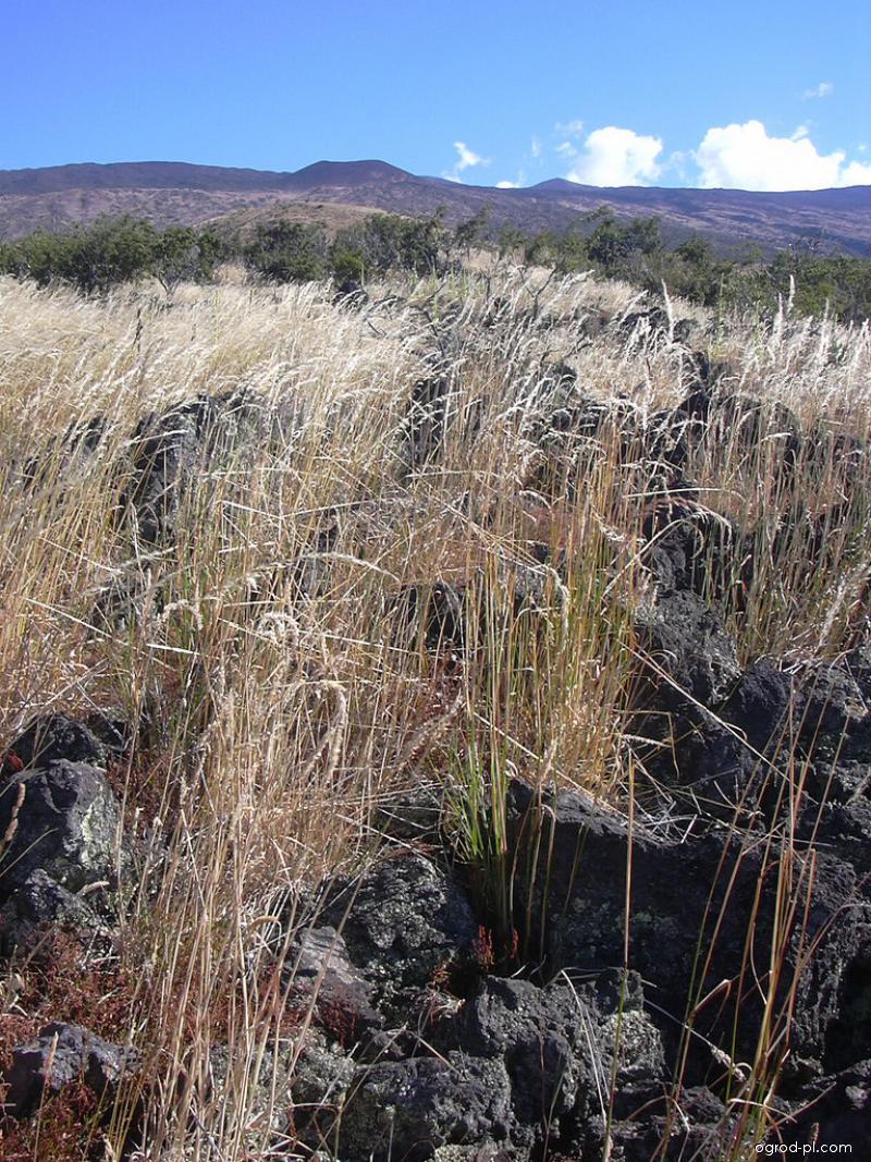 False Oat (Grass - Arrhenatherum elatius)