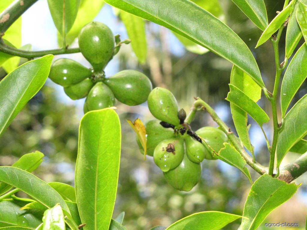 Climbing ylang-ylang - fruit (Artabotrys hexapetalus)