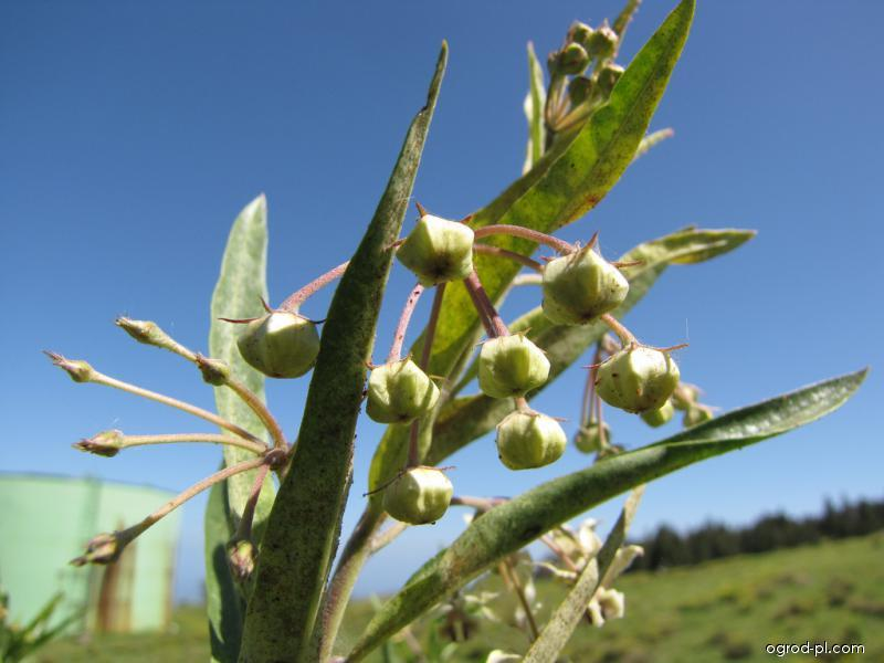 Balloon plant - flower buds (Asclepias physocarpa)