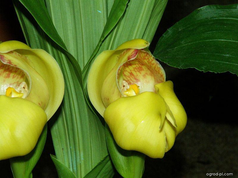 Anguloa (Anguloa cliftonii)