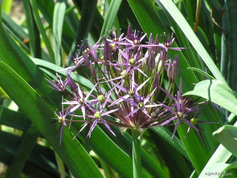 Czosnek białawy - Allium christophii