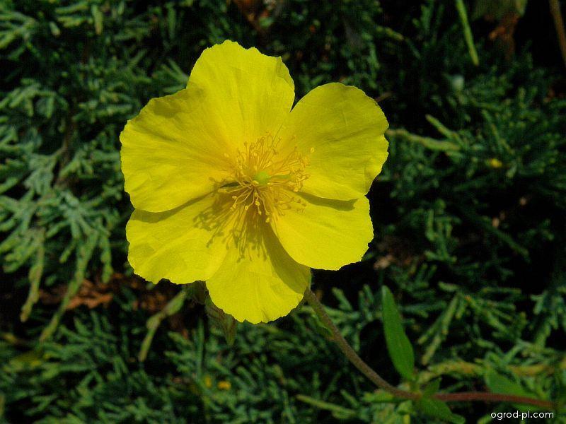 Devaterník vejčitý (Helianthemum ovatum)