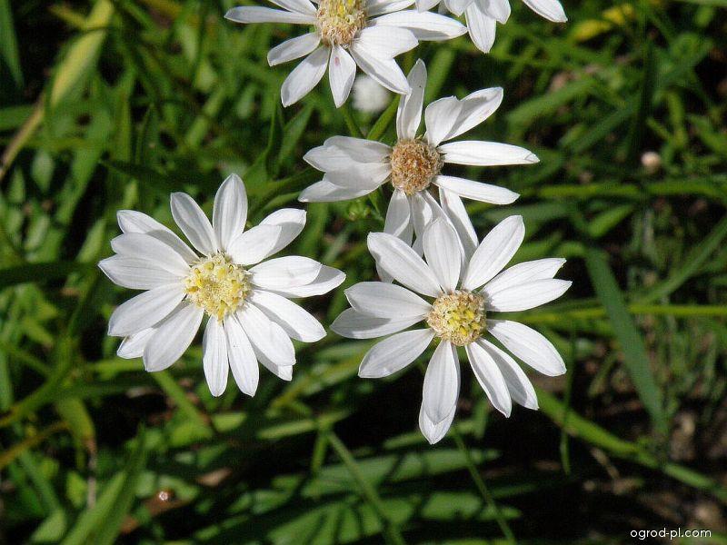 Hvězdnice (Aster ptarmicoides)