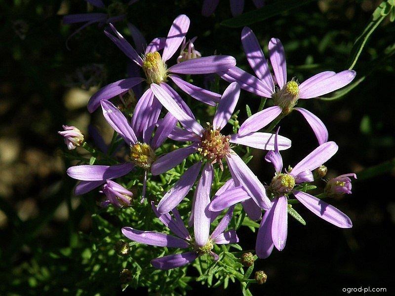 Hvězdnice (Aster sedifolius)