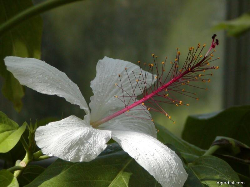 Ibišek čínská Růže White Wings Hibiscus Rosa Sinensis Ogrod Plcom