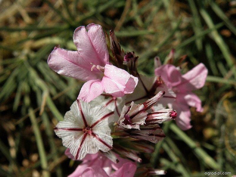 Trávníčkovec tuhý (Acantholimon acerosum)