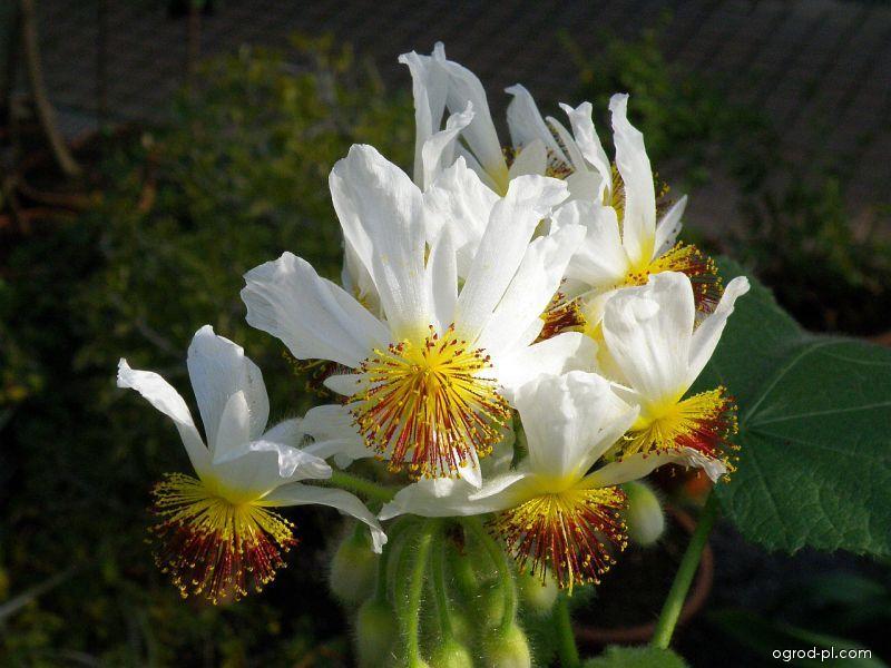Lipěnka africká (Sparmannia africana)