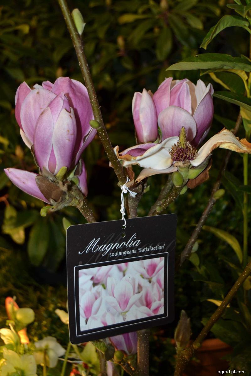 Magnolia pośrednia - Magnolia x soulangeana Satisfaction