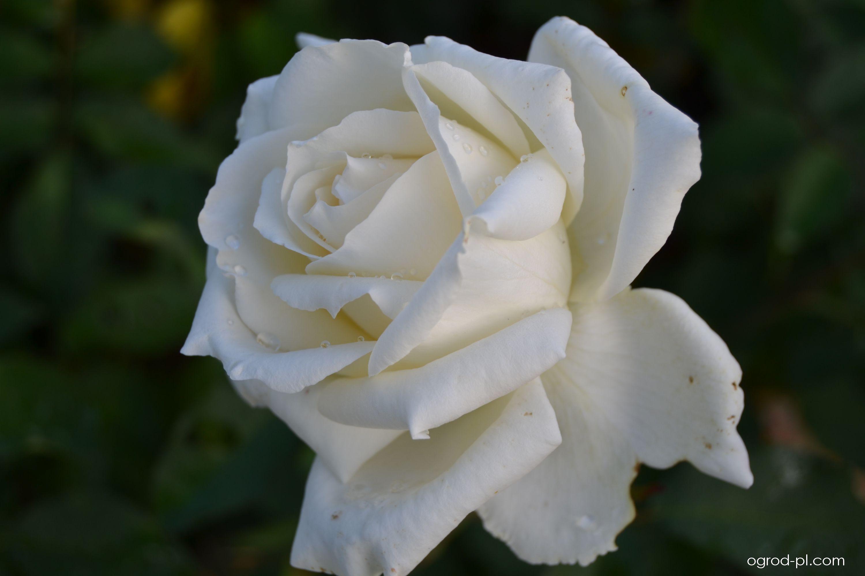 Růže (Rosa bianco puro)