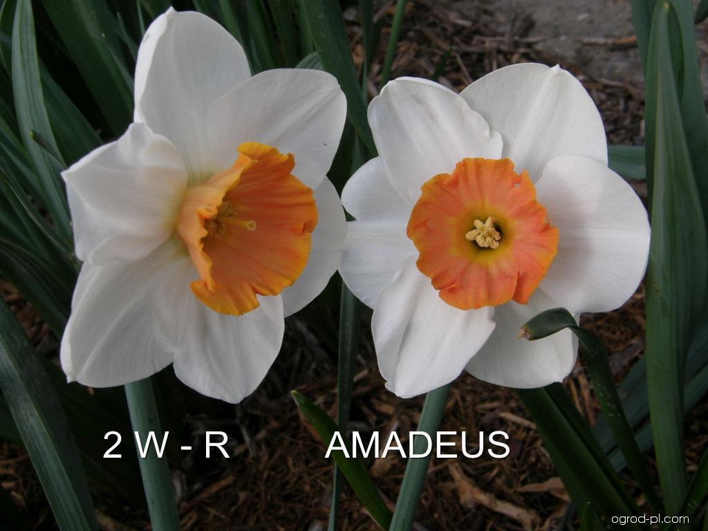 Narcyz - Narcissus Amadeus