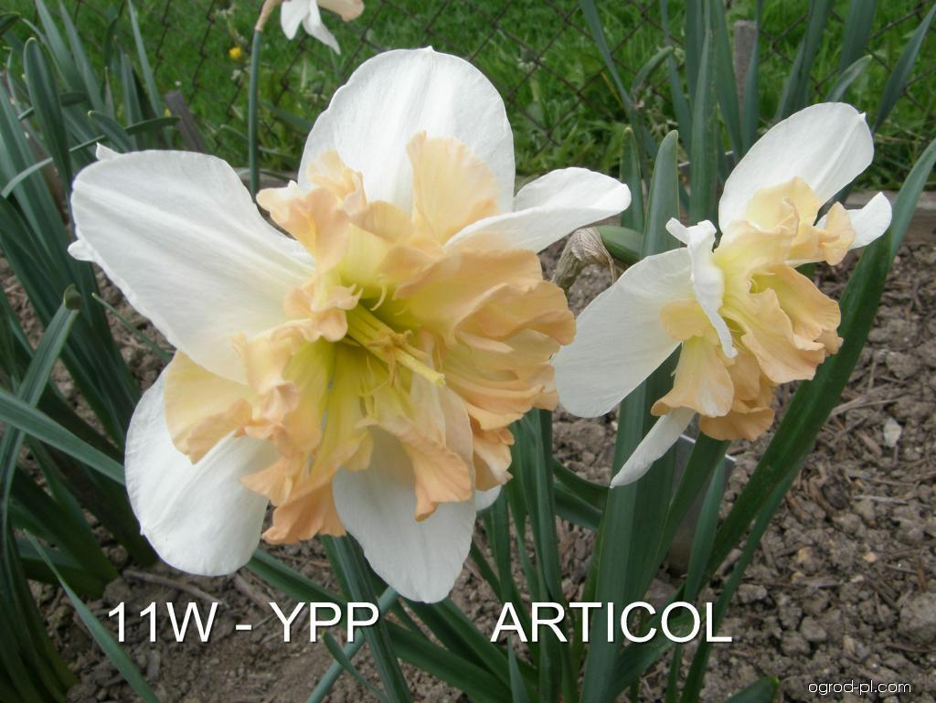Narcissus Articol (narcyz)