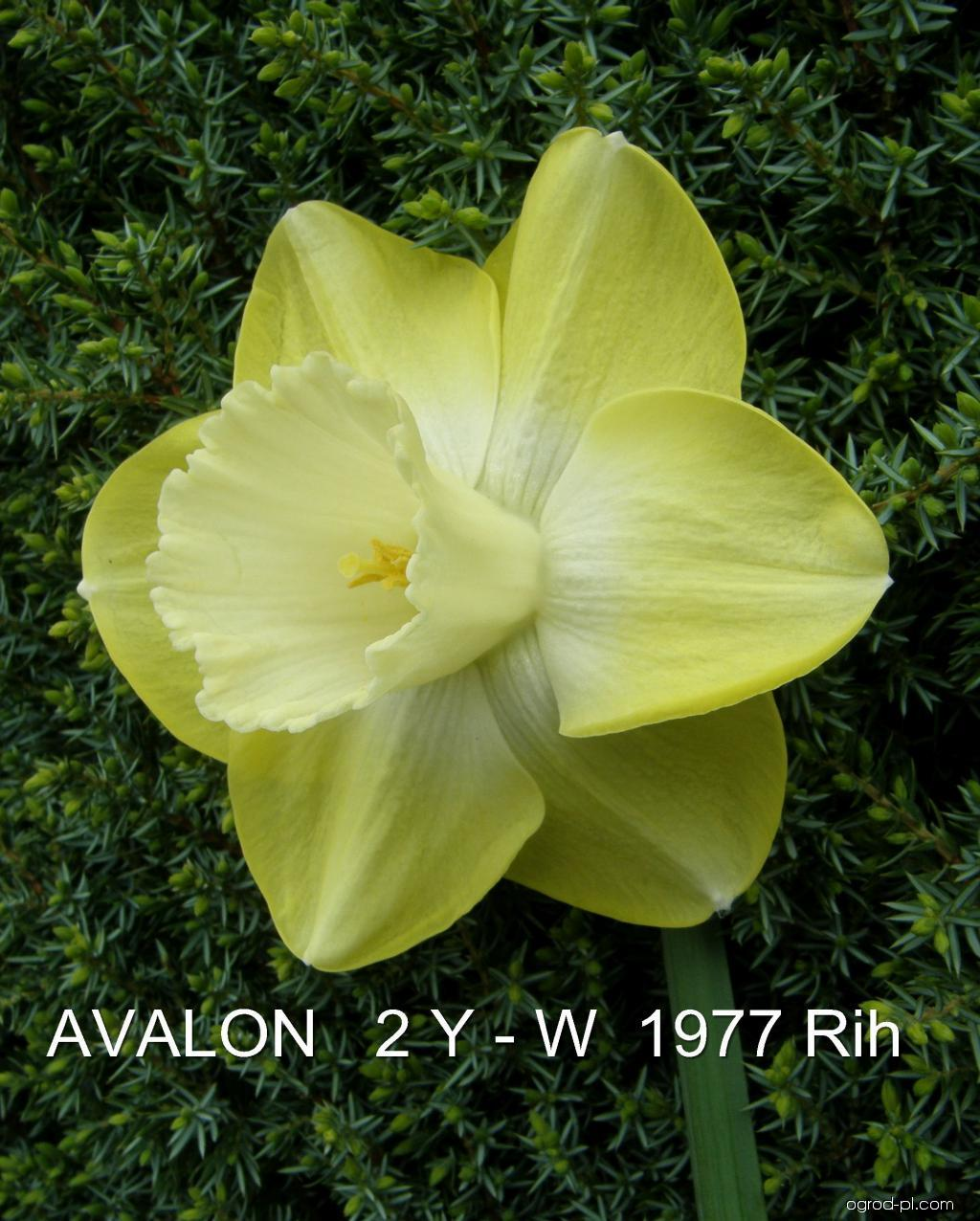 Narcissus Avalon (narcyz)