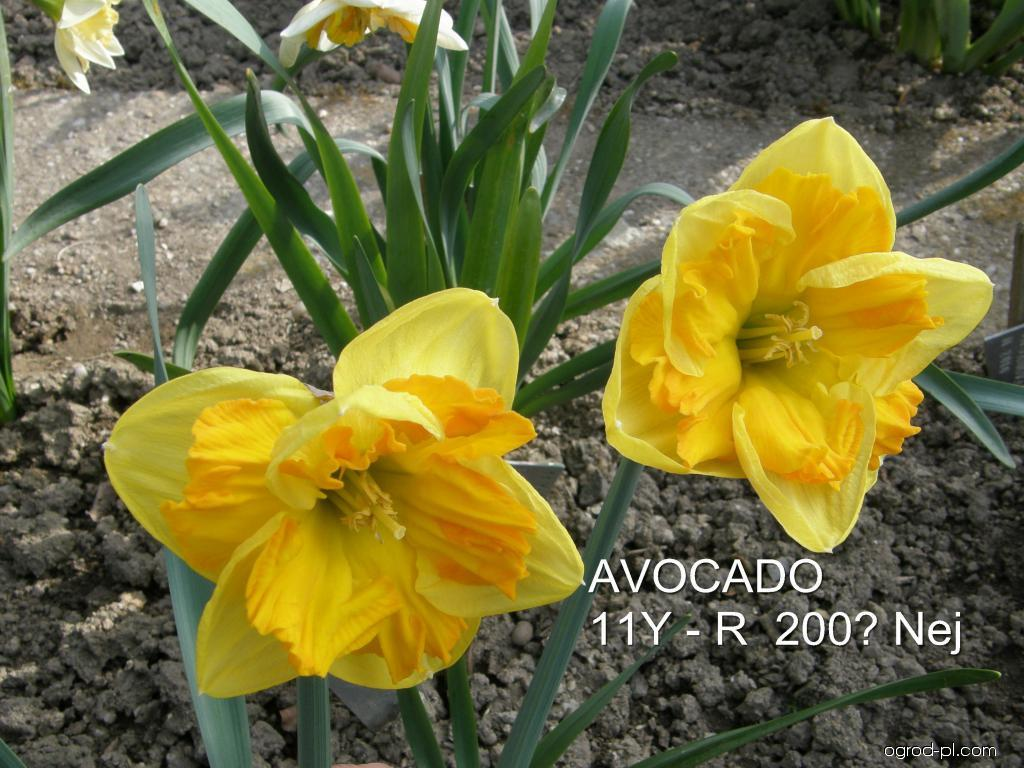 Narcissus Avocado (narcyz)