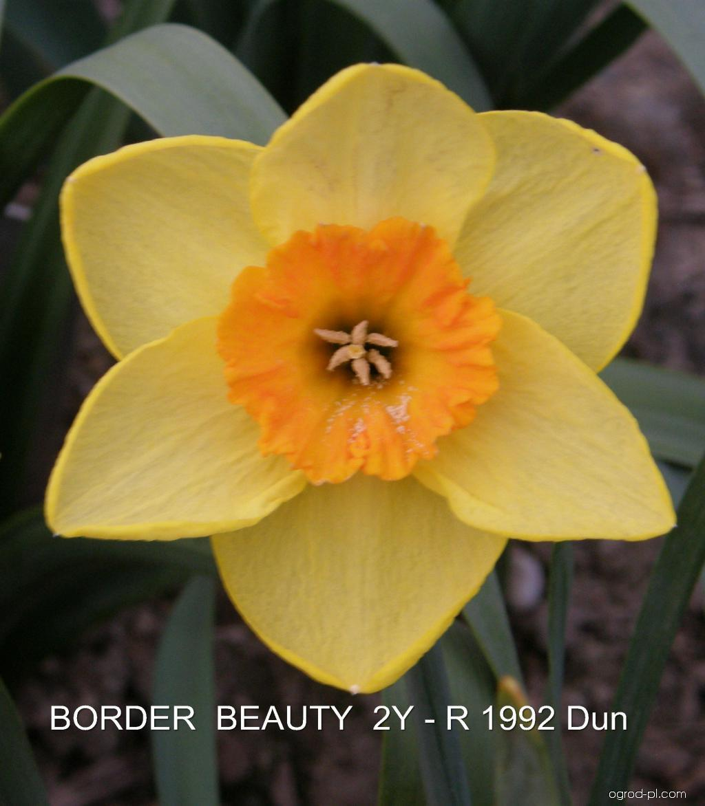 Narcissus Border Beauty (narcyz)