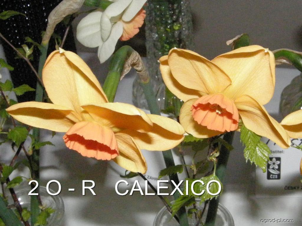 Narcissus Calexico (narcyz)
