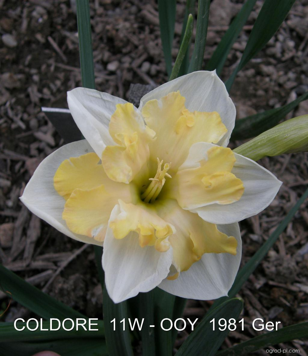 Narcissus Coldoree (narcyz)