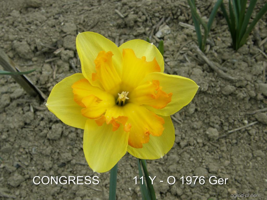 Narcissus Congress (narcyz)
