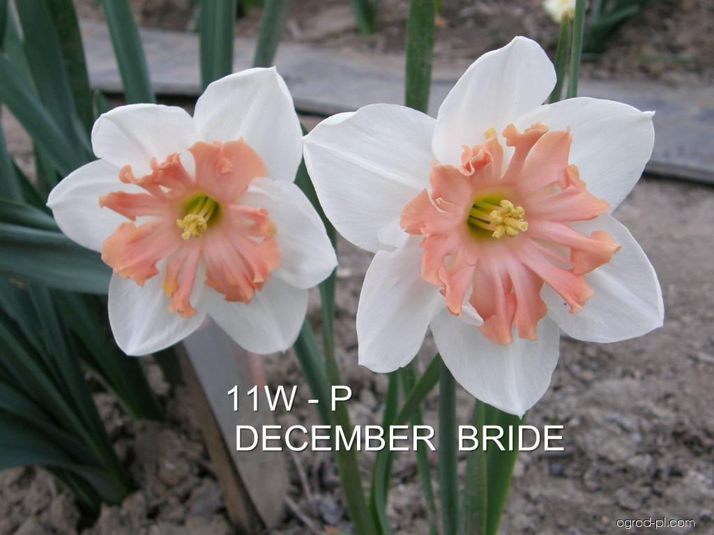Narcissus December Bride (narcyz)