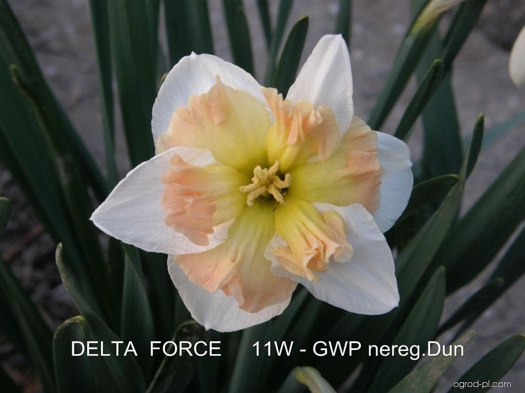 Narcissus Delta Force (narcyz)