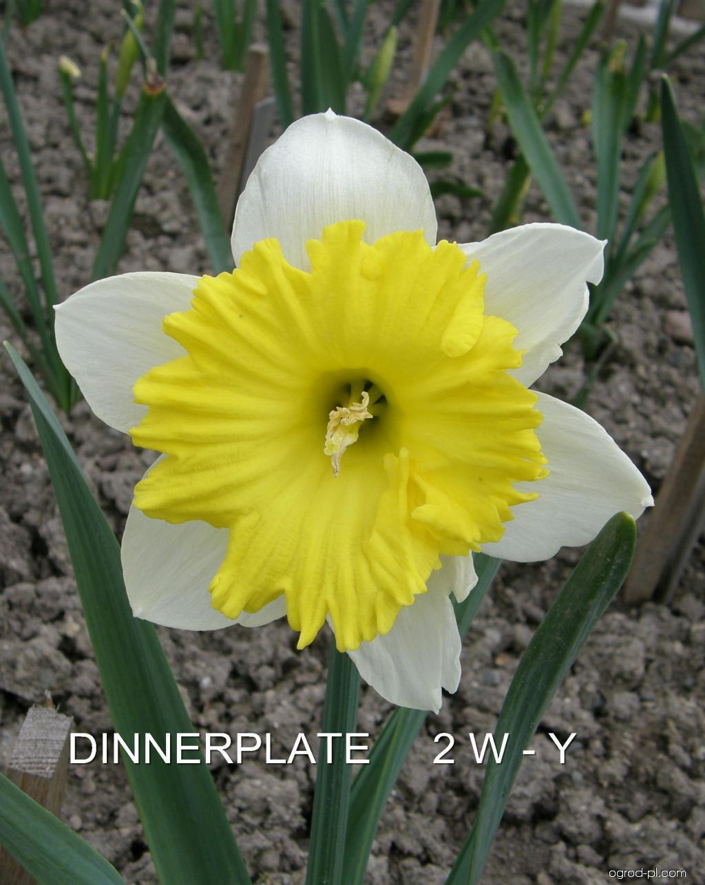 Narcissus Dinnerplate (narcyz)