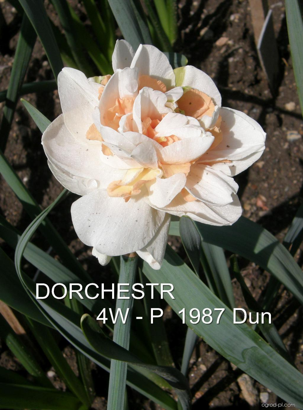 Narcissus Dorchester (narcyz)