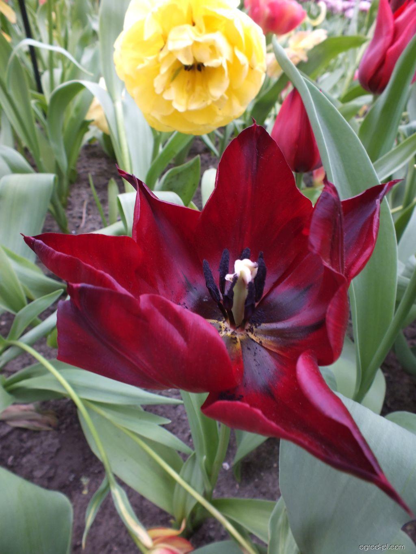 Tulipán zahradní (Tulipa)