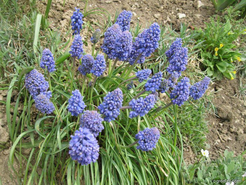 Szafirek armeński - Muscari armeniacum Blue Spike