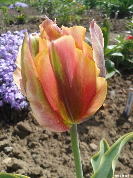 Tulipan - Tulipa Green River