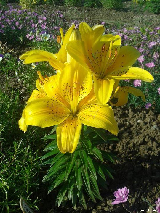 Lilie Sunny Joy (Lilium x hybridum)