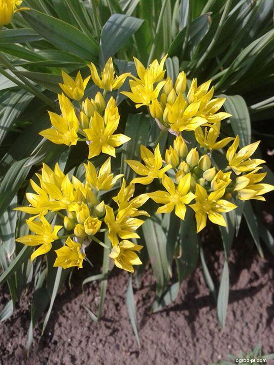 Czosnek południowy, czosnek złocisty - Allium moly