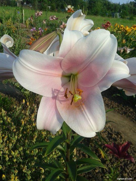 Lilie Bell Song - LO hybrid (Lilium hybridum)