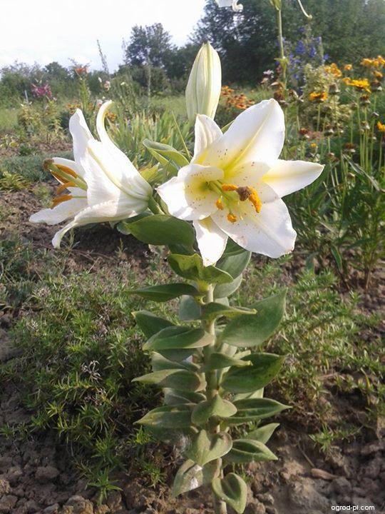 Lilie Little Rainbow - Orientální hybrid (Lilium x hybridum)