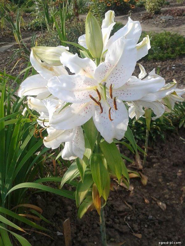 Lilia - Lilium x hybridum Extravaganza