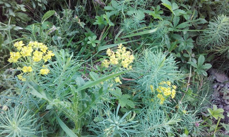 Mliečnik chvojkový (Euphorbia cyparissias)