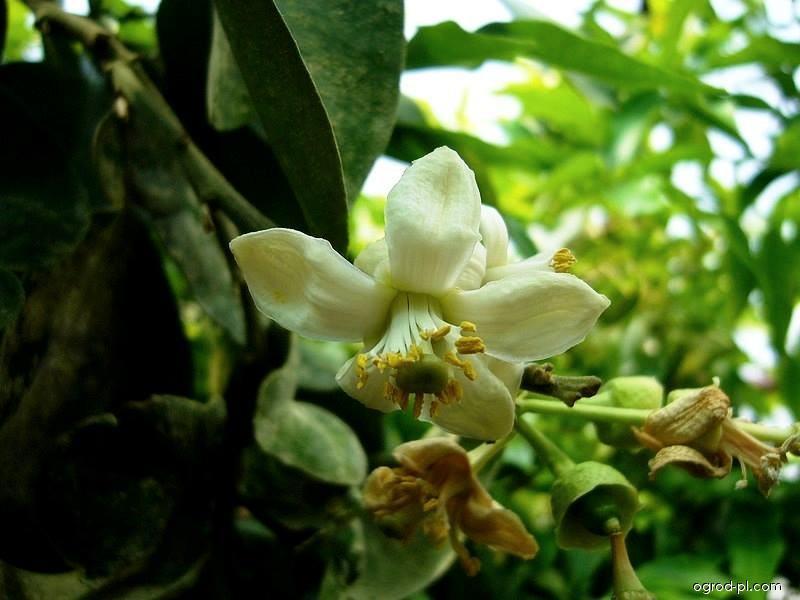 Pomelo - květ (Citrus maxima)