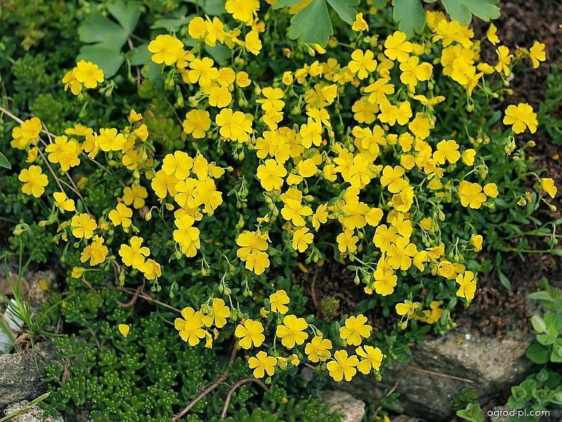 Devaterník (Helianthemum alpastre)