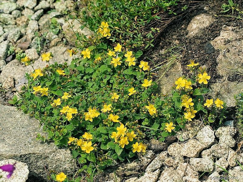 Třezalka (Hypericum nummolarium)