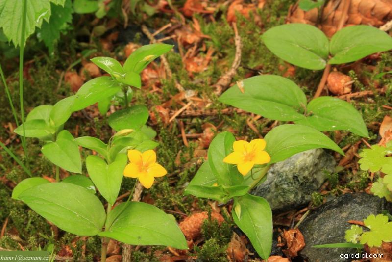 Vrbina hajní (Lysimachia nemorum)