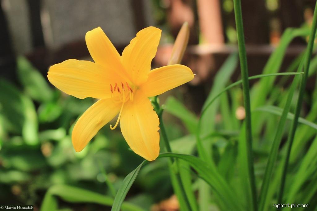 Denivka (Hemerocallis esculenta)