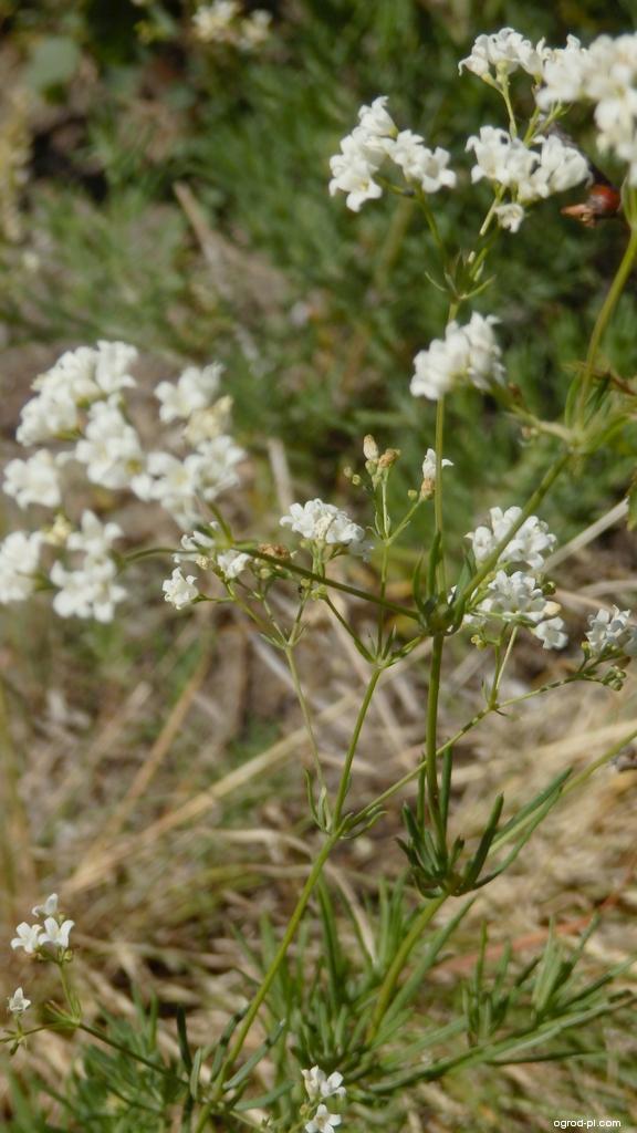 Svízel sivý (Galium glaucum)