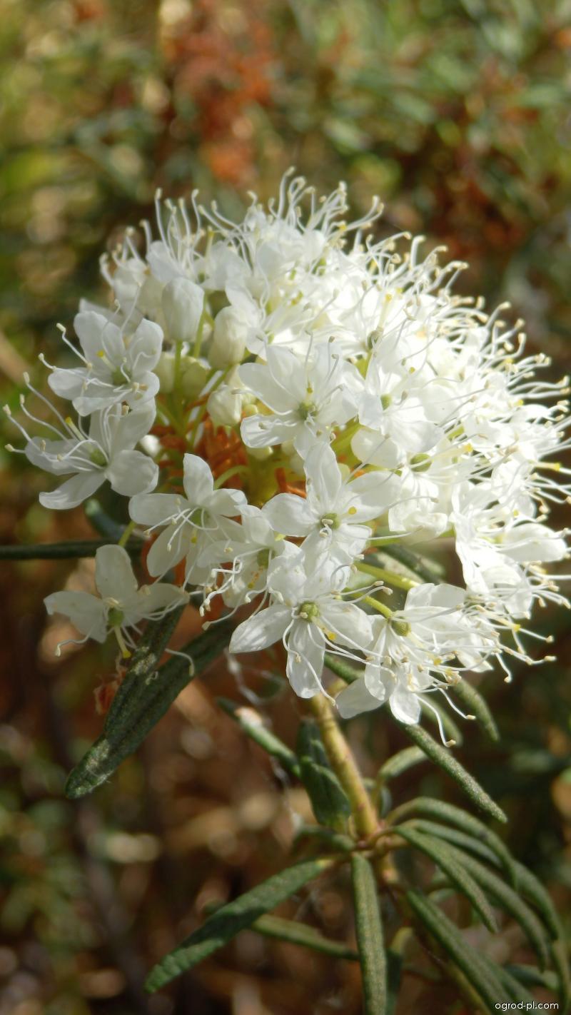 Rojovník bahenní - květ (Rhododendron tomentosum)